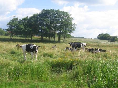 Dänische Kühe