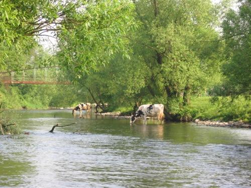 Kühe in der Wupper