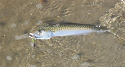 Makrele, mit Samsökiller Variation gefangen